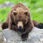 The mighty bears of Kamchatka region photos