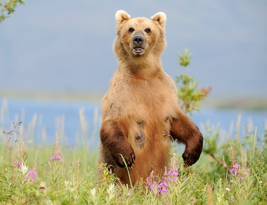 Kamchatka region, Russia bears view