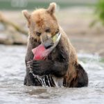 Russian bears hunting tasty fishes photos