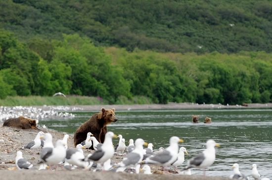 Russian bears and fish scenery