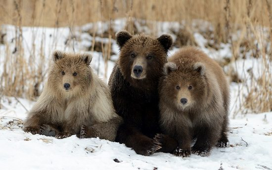 Bears in the South Kamchatka Wildlife Sanctuary, Russia, photo 1