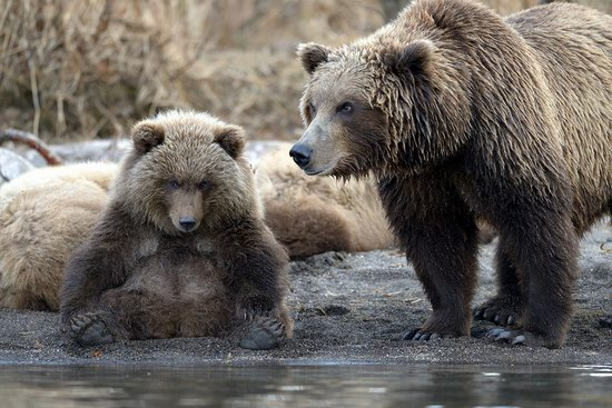 Bears in the South Kamchatka Wildlife Sanctuary, Russia, photo 10