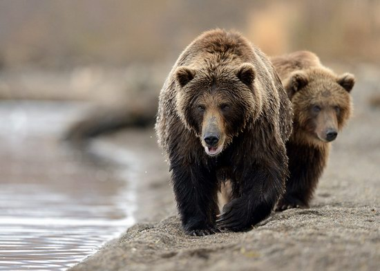 Bears in the South Kamchatka Wildlife Sanctuary, Russia, photo 11