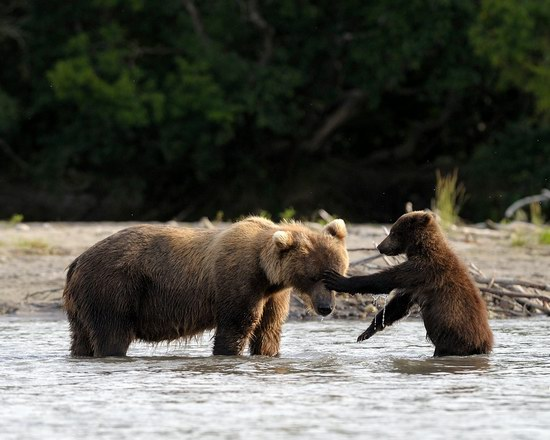 Bears in the South Kamchatka Wildlife Sanctuary, Russia, photo 12