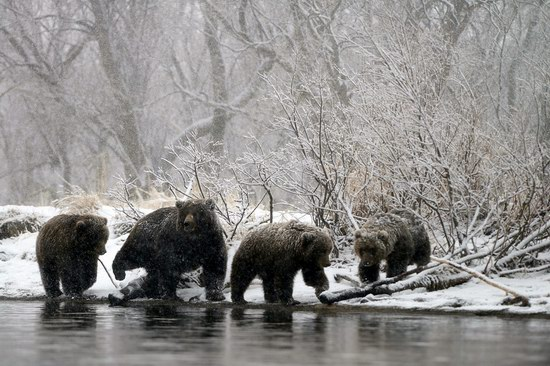 Bears in the South Kamchatka Wildlife Sanctuary, Russia, photo 3