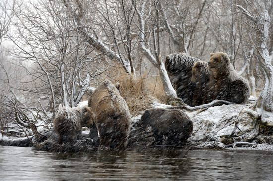Bears in the South Kamchatka Wildlife Sanctuary, Russia, photo 4