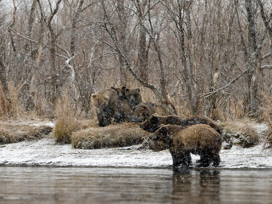 Bears in the South Kamchatka Wildlife Sanctuary, Russia, photo 5