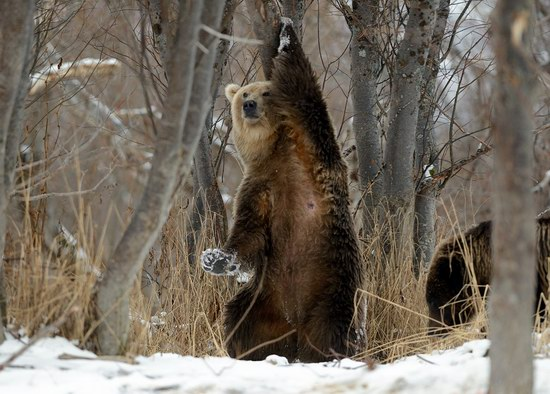 Bears in the South Kamchatka Wildlife Sanctuary, Russia, photo 8