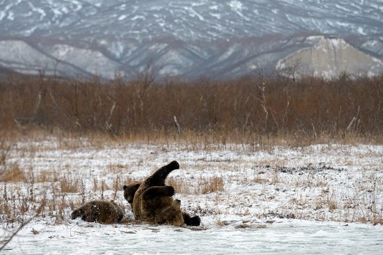 Bears in the South Kamchatka Wildlife Sanctuary, Russia, photo 9