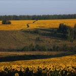 The blooming of sunflower in Lipetsk region