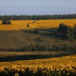The blooming of sunflower in Lipetsk region