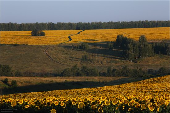 Blooming sunflowers, Lipetsk region, Russia, photo 1