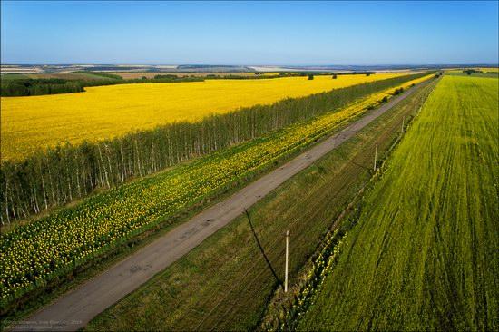 Blooming sunflowers, Lipetsk region, Russia, photo 12