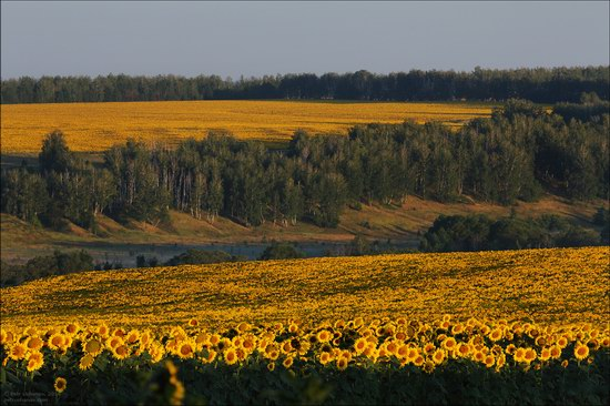 Blooming sunflowers, Lipetsk region, Russia, photo 2
