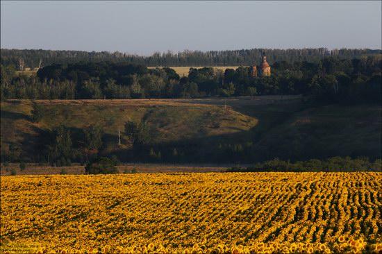 Blooming sunflowers, Lipetsk region, Russia, photo 3