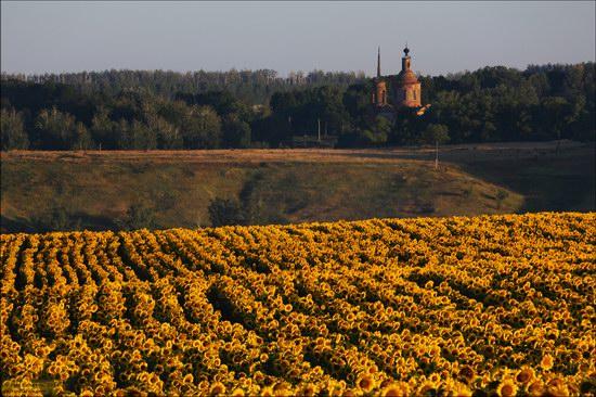 Blooming sunflowers, Lipetsk region, Russia, photo 4