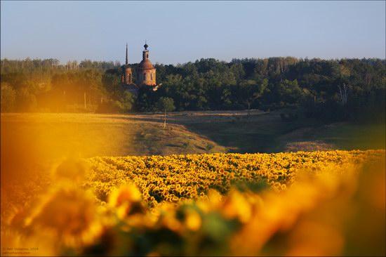 Blooming sunflowers, Lipetsk region, Russia, photo 5