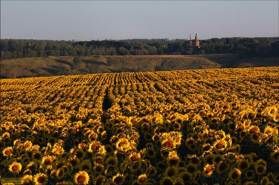 Blooming sunflowers, Lipetsk region, Russia, photo 6