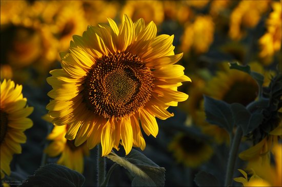 Blooming sunflowers, Lipetsk region, Russia, photo 7