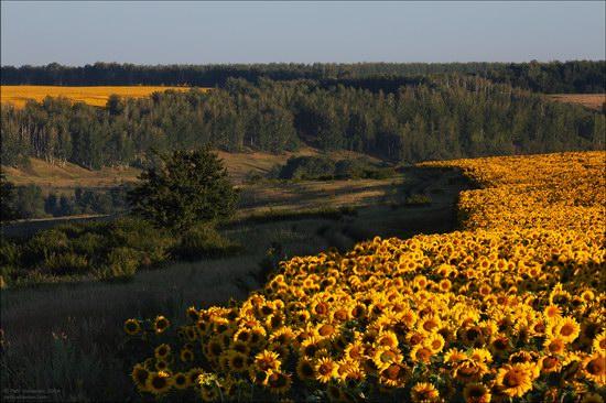 Blooming sunflowers, Lipetsk region, Russia, photo 8