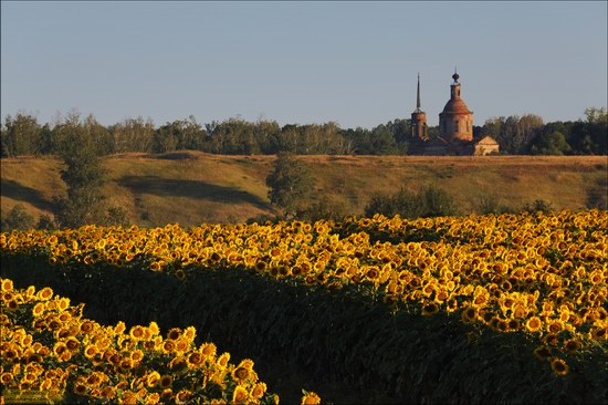 Blooming sunflowers, Lipetsk region, Russia, photo 9