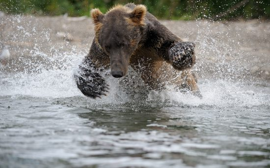 South Kamchatka Reserve bears, Russia, photo 2