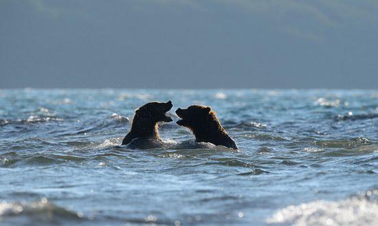 South Kamchatka Reserve bears, Russia, photo 6