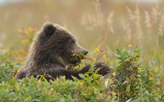 South Kamchatka Reserve bears, Russia, photo 9