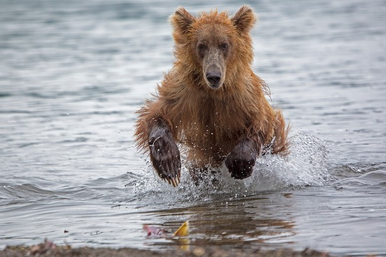 Kurilskoye Lake bears, Kamchatka, Russia, photo 10