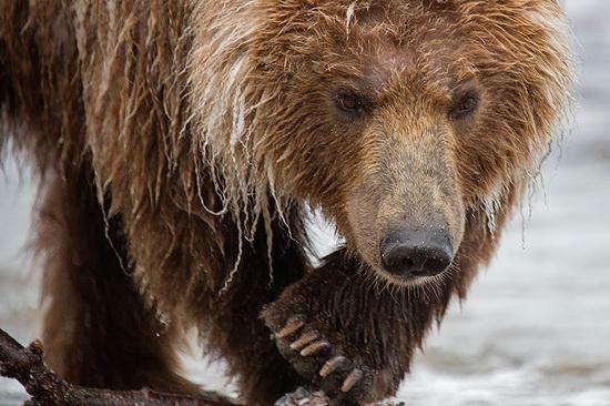 Kurilskoye Lake bears, Kamchatka, Russia, photo 11