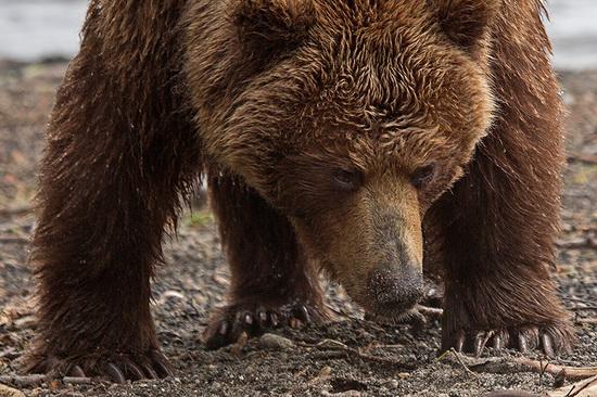 Kurilskoye Lake bears, Kamchatka, Russia, photo 12
