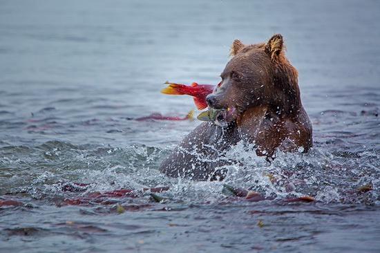 Kurilskoye Lake bears, Kamchatka, Russia, photo 13