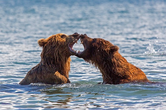 Kurilskoye Lake bears, Kamchatka, Russia, photo 14