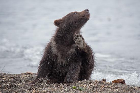 Kurilskoye Lake bears, Kamchatka, Russia, photo 15