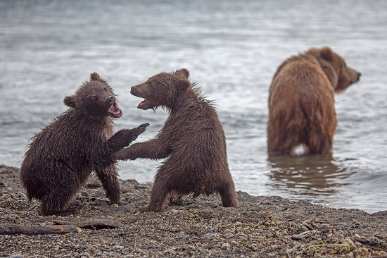 Kurilskoye Lake bears, Kamchatka, Russia, photo 16