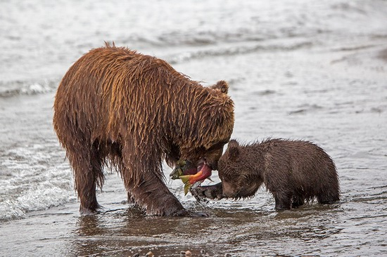 Kurilskoye Lake bears, Kamchatka, Russia, photo 17