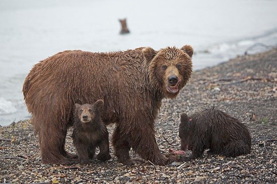 Kurilskoye Lake bears, Kamchatka, Russia, photo 18