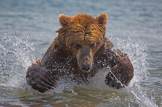 Kurilskoye Lake bears, Kamchatka, Russia, photo 2