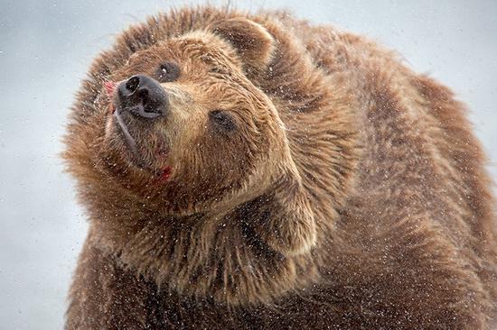 Kurilskoye Lake bears, Kamchatka, Russia, photo 21
