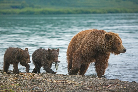 Kurilskoye Lake bears, Kamchatka, Russia, photo 4
