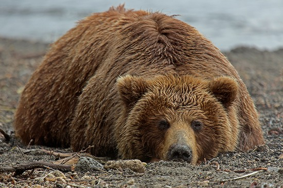 Kurilskoye Lake bears, Kamchatka, Russia, photo 8
