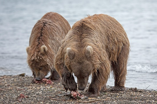 Kurilskoye Lake bears, Kamchatka, Russia, photo 9