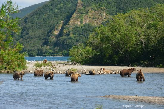 Bears and foxes of Kamchatka, Russia, photo 14