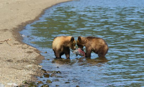 Bears and foxes of Kamchatka, Russia, photo 17