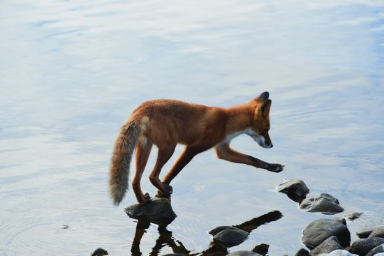 Bears and foxes of Kamchatka, Russia, photo 19