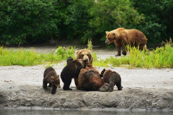 Bears and foxes of Kamchatka, Russia, photo 2