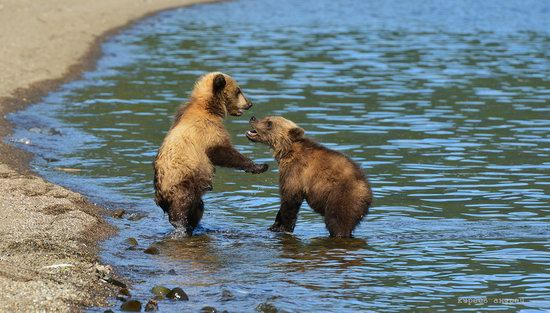 Bears and foxes of Kamchatka, Russia, photo 20