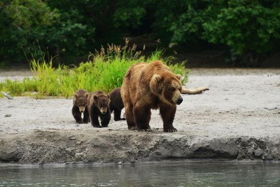 Bears and foxes of Kamchatka, Russia, photo 5