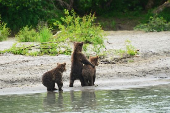 Bears and foxes of Kamchatka, Russia, photo 8