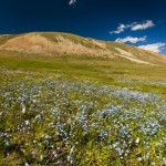 The beauty of the wild flowers of all colors in Altai